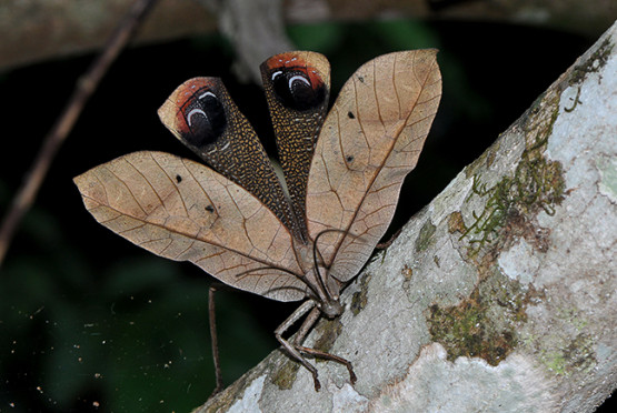 Bicho-folha (Pterochroza ocellata) • Foto Vanessa Gama / Musa