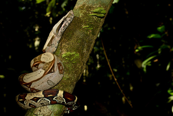 Jiboia (Boa constrictor) • Foto Vanessa Gama / Musa