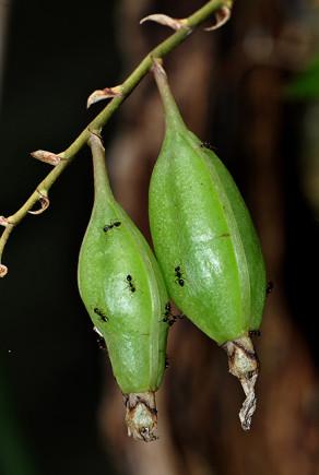 Fruto de Rodriguezia lanceolata • Foto Vanessa Gama / Musa