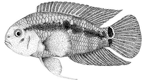 Acara-cascudo