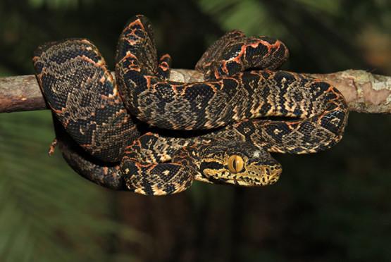 Suaçuboia (Corallus hortulanus) • Foto Tomaz Nascimento de Melo