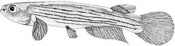 Rivulus